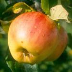 Odensta äpplesort